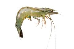 被隔绝的虾 免版税库存图片