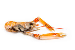 被隔绝的蝉虾 免版税库存照片