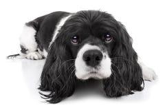 被隔绝的西班牙猎狗狗 免版税库存照片