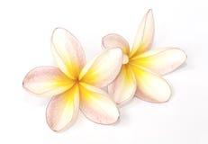 被隔绝的赤素馨花花 库存照片