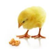 被隔绝的逗人喜爱的小的鸡 免版税库存图片