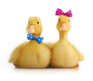 被隔绝的逗人喜爱的小的鸭子 免版税库存图片