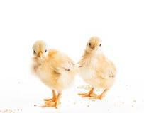 被隔绝的逗人喜爱的小鸡 库存照片