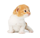 被隔绝的逗人喜爱的橙红小猫 免版税库存图片