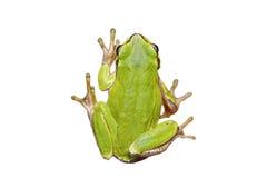 被隔绝的逗人喜爱的欧洲雨蛙 免版税库存照片