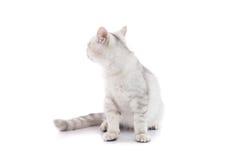 被隔绝的逗人喜爱的美国shorthair猫 免版税库存照片