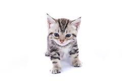 被隔绝的逗人喜爱的美国shorthair猫 免版税图库摄影
