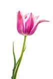 被隔绝的郁金香花 库存图片
