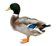 被隔绝的野鸭鸭子 免版税库存照片