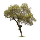被隔绝的银色喇叭树或黄色在白色背景的Tabebuia 免版税图库摄影