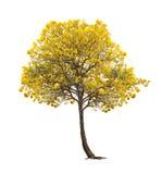 被隔绝的银色喇叭树或黄色在白色背景的Tabebuia 库存图片