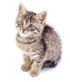被隔绝的镶边灰色小猫 免版税库存图片