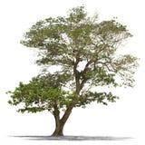 被隔绝的雨豆树 免版税库存照片
