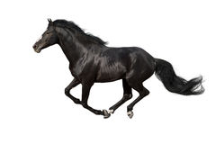 被隔绝的马奔跑 库存照片
