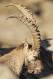 被隔绝的高地山羊鹿长的垫铁绵羊Steinbock 免版税库存照片