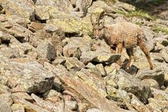被隔绝的高地山羊鹿长的垫铁绵羊Steinbock 图库摄影