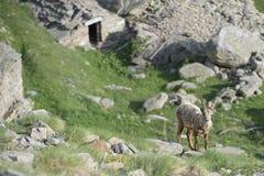 被隔绝的高地山羊鹿长的垫铁绵羊Steinbock 免版税图库摄影