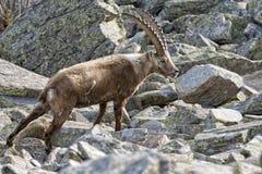 被隔绝的高地山羊鹿长的垫铁绵羊Steinbock 库存图片