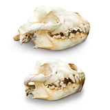 被隔绝的鬣狗头骨 免版税库存照片