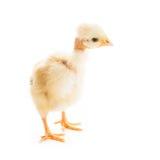 被隔绝的魅力小鸡 库存照片