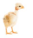 被隔绝的魅力小鸡 库存图片