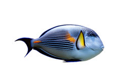 被隔绝的鹦鹉鱼 免版税库存照片