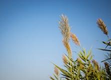 被隔绝的稻庄稼 免版税库存图片