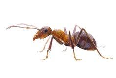 被隔绝的水彩唯一蚂蚁昆虫动物 库存例证