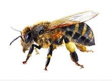 被隔绝的水彩唯一蜂昆虫动物 库存例证