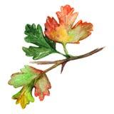 被隔绝的水彩绿色橙黄鹅莓叶子分支 免版税库存图片