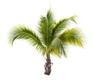 被隔绝的年轻椰子树 免版税库存照片
