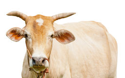 被隔绝的黄牛 库存照片