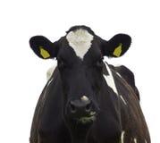 被隔绝的滑稽的母牛 免版税库存照片