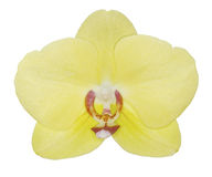 被隔绝的黄色兰花植物兰花 免版税图库摄影