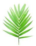 被隔绝的绿色棕榈叶 免版税图库摄影