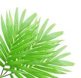 被隔绝的绿色棕榈叶 库存照片