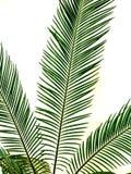 被隔绝的绿色棕榈叶 免版税库存图片
