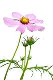 被隔绝的紫色波斯菊花 免版税库存图片