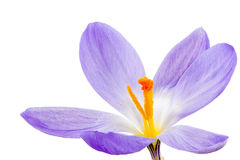 被隔绝的紫色番红花开花 免版税库存照片