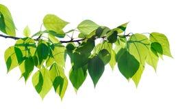 被隔绝的绿色白杨树枝杈 免版税库存图片