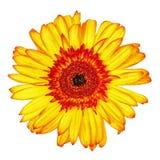 被隔绝的黄色红色大丁草花 库存照片