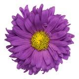 被隔绝的紫色翠菊 库存图片