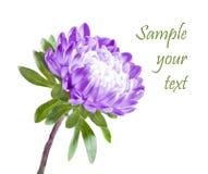 被隔绝的紫色菊花 免版税库存照片