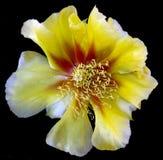 被隔绝的黄色仙人掌花 库存照片