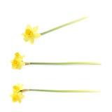被隔绝的黄色水仙花 库存图片