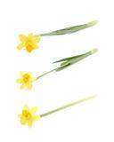 被隔绝的黄色水仙花 免版税图库摄影