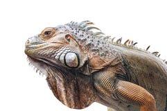被隔绝的活鬣鳞蜥 免版税库存图片