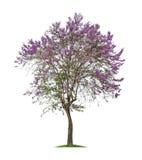 被隔绝的Bungor树或Tabak树与紫色花在白色背景 免版税库存图片