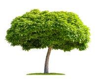 被隔绝的catalpa树 库存图片