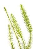 被隔绝的clubmoss植物 免版税库存图片